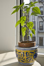 Pepper Plant in the Window Stock Photos