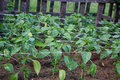 Pepper plants after planting on the garden bed Royalty Free Stock Photo