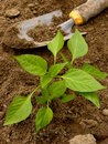 Pepper seedling and small shovel on vegetable bed Stock Photography
