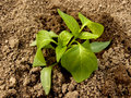 Pepper seedlings just replanted into the ground Royalty Free Stock Photos