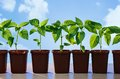 Pepper seedlings in pots on sky background Stock Images