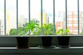 Pepper seedlings Royalty Free Stock Photo