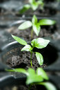 Pepper seedlings ready for plant Royalty Free Stock Photo