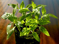 Pepper seedlings young growing in plastic container Stock Photo
