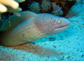 Peppered moray eel strait of tiran egypt Stock Images