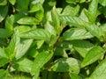 Peppermint Stock Photos