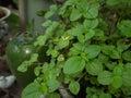 Peppermint - Mentha piperita in the garden