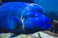 Perch blue with name george living in a big aquarium in dubai s famous hotel burj al arab is looking at you Stock Image