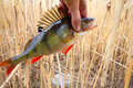 Perch from a cane thickets caught in canes at small depth Stock Photo