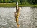 Perch caught on the hook european wobbler against landscape perca fluviatilis Stock Images