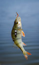 Perch fish catch on the hook. Bass river fish and natural background. Fishing activity.