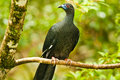 Perched Black Guan Royalty Free Stock Photography