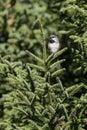 Perched Boreal Chickadee Royalty Free Stock Photo