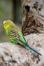 Perched Budgerigar Royalty Free Stock Photos