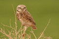 Perched burrowing owl adult on top of dry bush with green background Stock Image