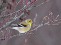 Perched Goldfinch Royalty Free Stock Image