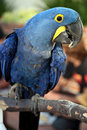 Perched hyacinth macaw Stock Images