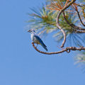 Perched mountain bluebird male at end of a pine tree branch Stock Images