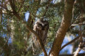 Perched northern saw whet owl a curious perches in an evergreen tree these small owls migrate down from canada for the winter Stock Photography