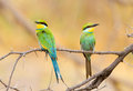 A perched pair of swallow tailed bee eaters inquisitive in the moremi game reserve okavango delta botswana Royalty Free Stock Photos