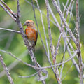 Perched red crossbill male on a dead branch Royalty Free Stock Images
