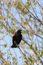 Perched red winged black bird a small blackbird is on a branch in a tree Royalty Free Stock Photo