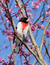Perched rose breasted grosbeak perches in a redbud tree tree is in bloom with pink and white flowers background consists of Royalty Free Stock Photo