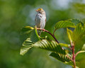 Perched savannah sparrow on a stem while looking to the left Royalty Free Stock Photography
