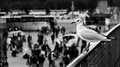 Perched seagull a on a barrier staring at the crowd of tourists Stock Images
