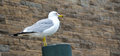 Perched seagull in search of free food Stock Photography