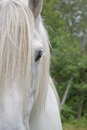 Percheron draft horse half face of a white Royalty Free Stock Photography