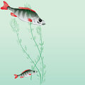 Perches perch in a pond with algae vector illustration Royalty Free Stock Photography