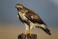 Perchhed redtail hawk a red tail sits perched while hunting Stock Photos