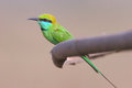 Perching green bee eater in india a wonderful perched merops orientalis goa s Stock Photo