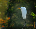 Perching heron a white perched on a small limb Royalty Free Stock Photography