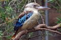 Perching Kookaburra