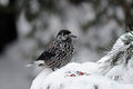 Perching Spotted nutcracker in winter forest near nuts Royalty Free Stock Photo