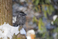 Perching Spotted nutcracker in winter forest Royalty Free Stock Photo
