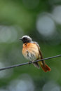Perching wet male Redstart at the wire Royalty Free Stock Photo