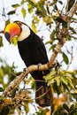 Perching wild toco toucan with head tilted a brightly colored perched high on a tree limb and surrounded by leaves and branches Royalty Free Stock Photo