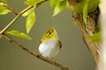 Perching Wood Warbler at poplar branch Royalty Free Stock Photo