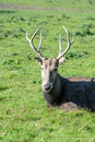Pere David's Deer Stock Images