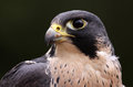 Peregrine face an extreme close up of the of a falcon falco peregrinus these birds are the fastest animals in the world Stock Image