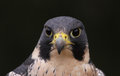 Peregrine face a falcon falco peregrinus perched on a stump these birds are the fastest animals in the world Stock Photos