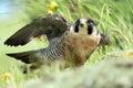Peregrine falcon amidst rocks and foliage Stock Photos