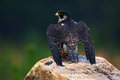 Peregrine Falcon, bird of prey sitting on the stone in the rock, detail portrait in the nature habitat, Germany. Wildlife scene wi Royalty Free Stock Photo