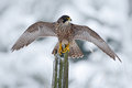 Peregrine Falcon, Bird of prey sitting on the tree trunk with open wings during winter with snow, Germany Royalty Free Stock Photo