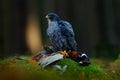 Peregrine falcon with catch pheasant beautiful bird of prey peregrine falcon feeding kill big bird on the green moss rock with da Royalty Free Stock Image