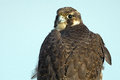 Peregrine falcon a close up Royalty Free Stock Photos