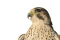 Peregrine falcon closeup of a isolated against a white background Stock Photography